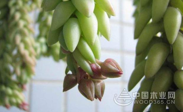 翡翠景天的养殖方法|翡翠景天图片1
