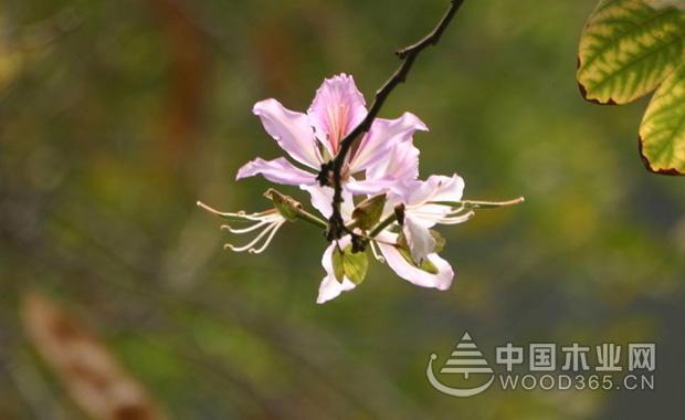 羊蹄甲花花语介绍|羊蹄2甲花图片