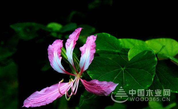 羊蹄甲花花语介绍|羊蹄甲花图片3