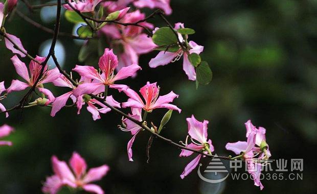 羊蹄甲花花语介绍|羊蹄甲花图片4