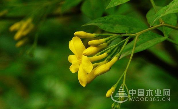 探春花的种植和注意事项|探春花图片1