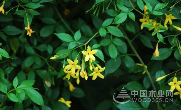 探春花的种植和注意事项|探春花图片2