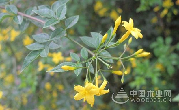 探春花的种植和注意事项|探春花图片3