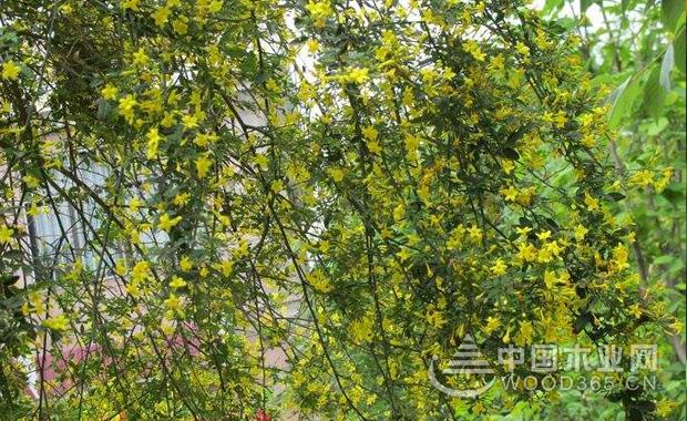 探春花的种植和注意事项|探春花图片5