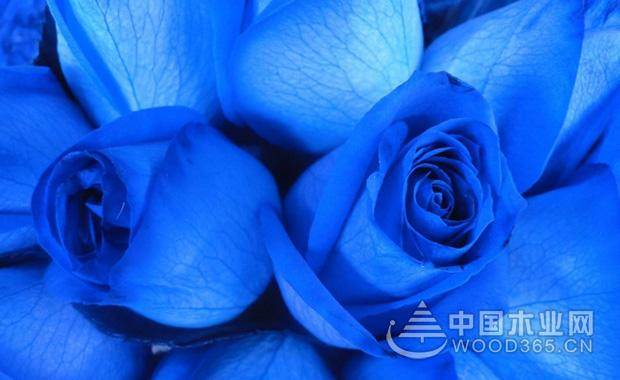 蓝玫瑰花图片