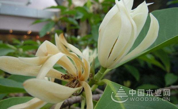 黄桷兰的养殖方法|黄桷兰图片2