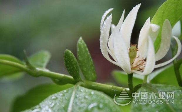 黄桷兰的养殖方法|黄桷兰图片4