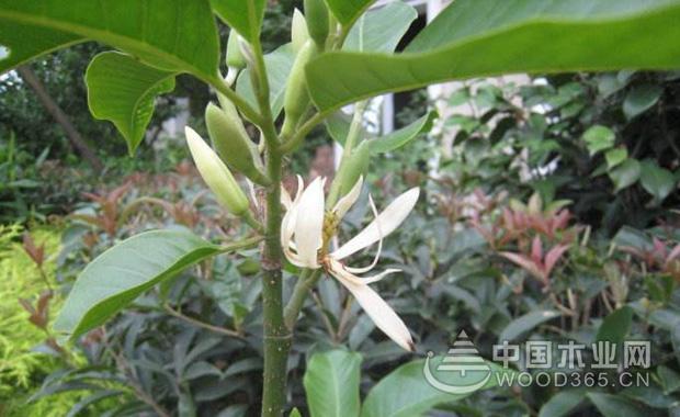 黄桷兰的养殖方法|黄桷兰图片