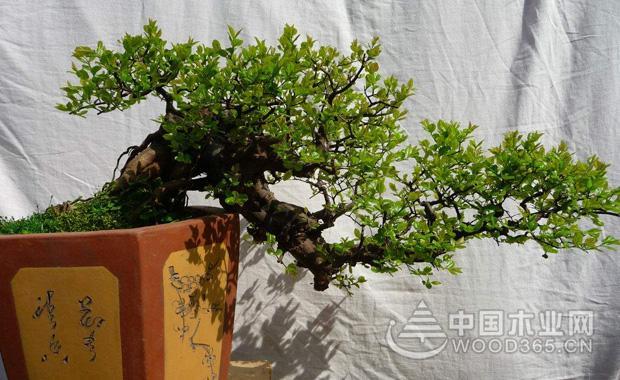 雀梅盆景的制作        1.雀梅盆景的制作取材:对于雀梅盆景的制作可以在3月和梅雨季节的时候进行,一定要选用一年生的枝条然后进行扦插繁殖。如果是采用压条繁殖可以在4-6月份的时候进行,也可以采用了播种培育苗木,要选择成熟的果实,采用随采籽随播种的方式。如果在长江以南一带可以挖掘野生的雀梅老根和幼树来栽种,要经过地栽以后养护,然后再加工成盆土,这样成活率才比较的高。        2.