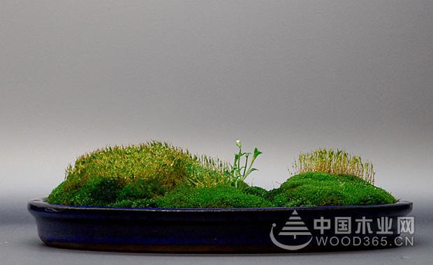 苔藓盆景的繁殖和制作方法|苔藓盆景图片2