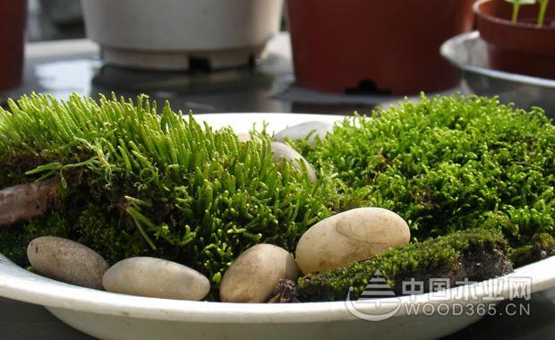 苔藓盆景的繁殖和制作方法|苔藓盆景图片3