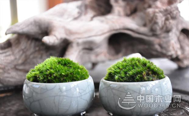 苔藓盆景的繁殖和制作方法|苔藓盆景图片4