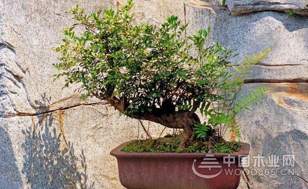关于九里香的资料|九里香盆景图片大全3
