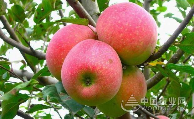 苹果树成长过程图片_盆栽苹果树种植方法 苹果树图片-中国木业网