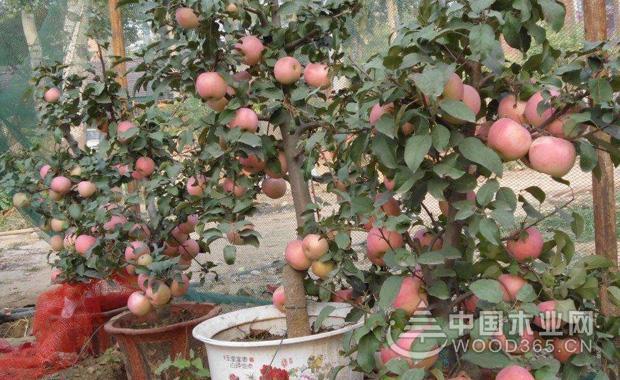 盆栽苹果树种植方法|苹果树图片