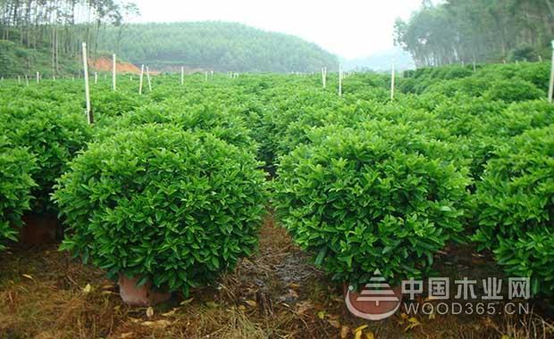 非洲茉莉的养殖方法和注意事项|非洲茉莉图片