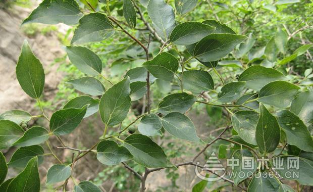 关于朴树植物的资料|朴树图片图片