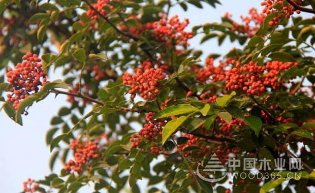 关于花椒树的资料 花椒图片大全