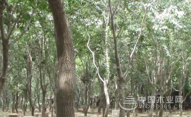 杜仲种子种植方法|杜仲树图片大全-中国木业网