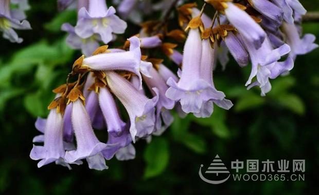 关于泡桐花的资料|泡桐花图片1