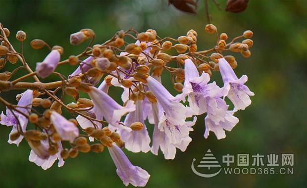 关于泡桐花的资料|泡桐花图片3