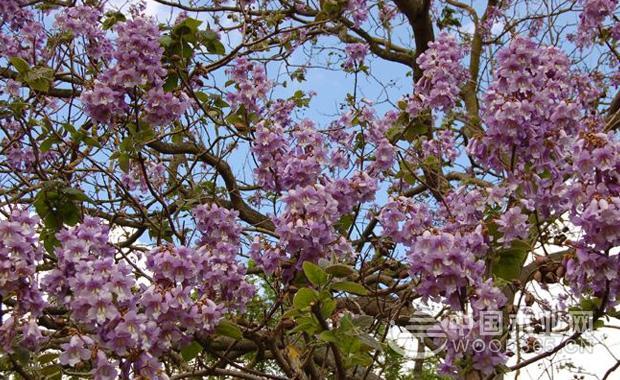 关于泡桐花的资料|泡桐花图片4