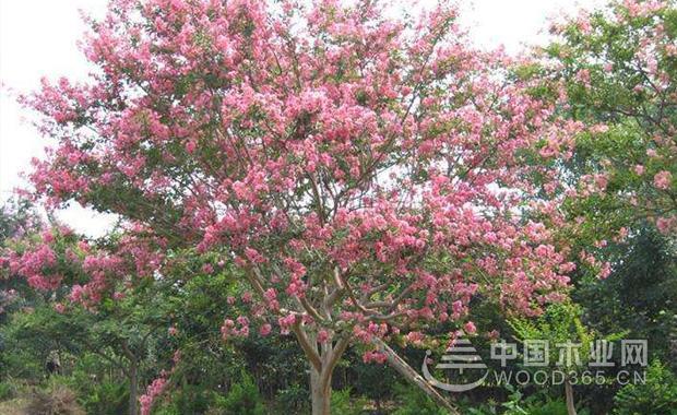 关于海棠树的资料和海棠树品种介绍|海棠树图片1