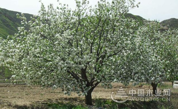 关于海棠树的资料和海棠树品种介绍|海棠树图片2