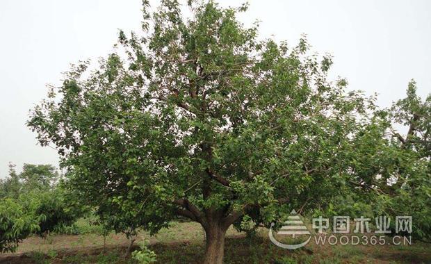关于海棠树的资料和海棠树品种介绍|海棠树图片3