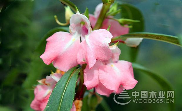 凤仙花 凤仙花的资料 凤仙花的生长过程 凤仙花的栽培方法 凤仙花图片