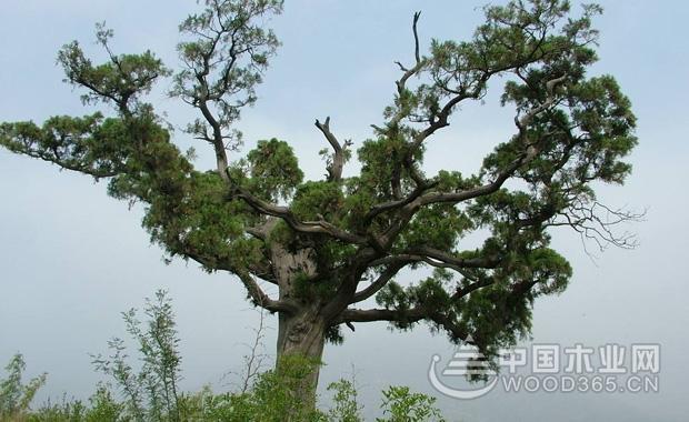 松柏风水      松柏为松科植物,也是风水植物之一,因其象征着长寿,所以在大多家庭院中都会种植两颗松柏,用于祝福。而中国古代便开始流行的祝寿语祝您老如松柏、福寿康宁,便强调了松柏的长寿含义,其次,松柏十分耐寒,在冬季也不会出现叶子脱落的现象。      松柏在室内养护时,应摆放在正对门的位置,能够起到辟邪的效果,曾经传说,魑魅魍魉中的魍鬼,便最怕松柏,后来,在去世之人的坟头上种植松柏,便成为一种通用习俗。    生长习性      松柏分类较多,据统计,仅中国培植的松柏品种,便多达八十余种以上