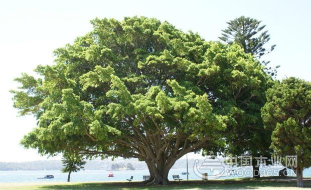 榕树为桑科榕属乔木,原产于热带亚洲.