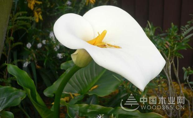 各类颜色马蹄莲的花语介绍1
