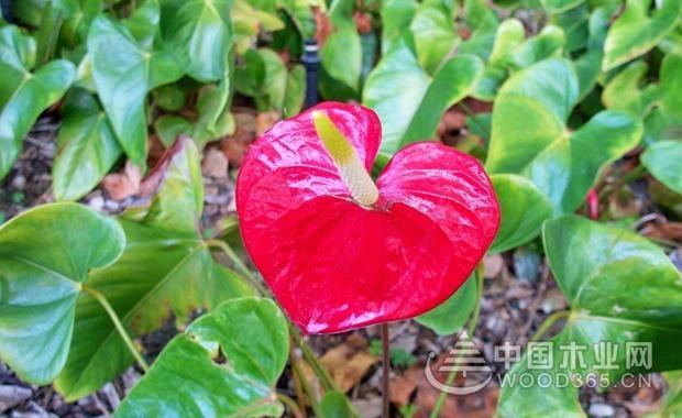 各类颜色马蹄莲的花语介绍2
