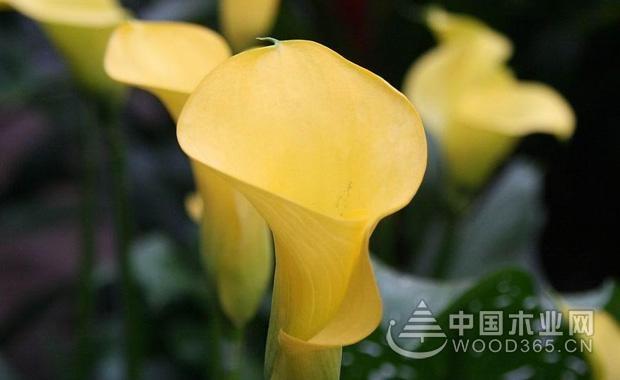 各类颜色马蹄莲的花语介绍4
