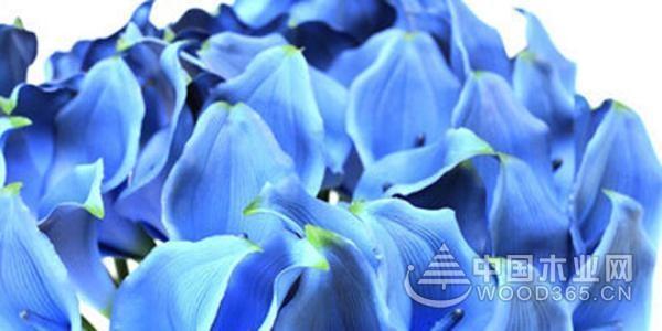 各类颜色马蹄莲的花语介绍5