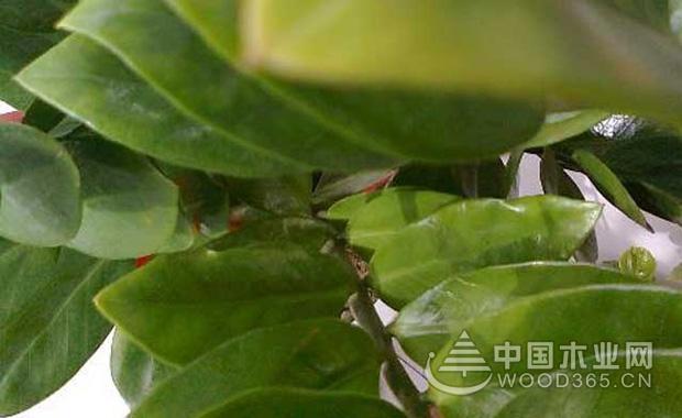 金钱树叶子发黄怎么办?1