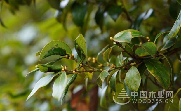 关于香叶树的资料|香叶树图片