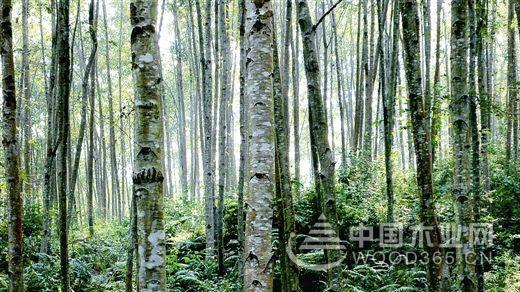 木业百科|西南桦