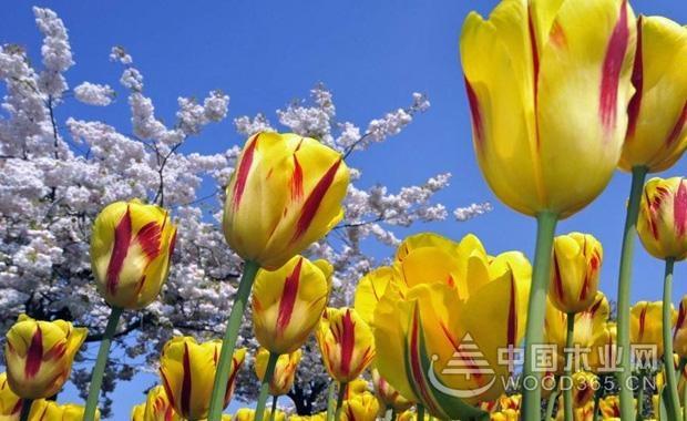 郁金香是哪个国家的国花?