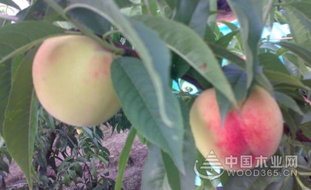 桃树病虫害防治技术