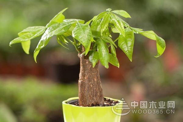 发财树贵不贵?发财树价格如何?