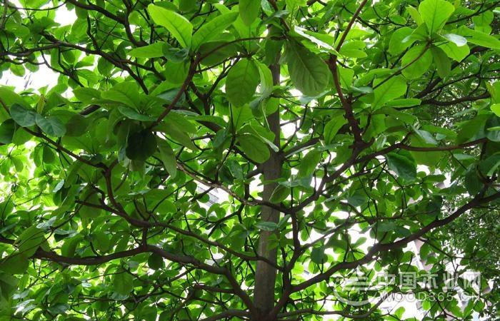 花:花期3-6月,白色穗状花序,缺乏花瓣,顶端是雄花,下方是雌花及两性花。花细小,白色或黄绿色。穗状花序,聚生于叶腋位置。      果:7-9月.广椭圆形核果,黄褐色,长达5厘米。外形像橄榄。可食的仁,含杏仁味的油。果子含纤维质,可在水上飘浮,内果皮坚硬而质轻可漂浮于海面上,具有海漂植物传布的特性。