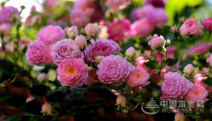 蔷薇,为知名的观赏类植物,多以灌木生长,品种较多,仅国内蔷薇花品种便可多达九十种以上,那么,蔷薇花什么时候开,蔷薇花期有多久,蔷薇花花语是什么呢?       蔷薇花期多长      蔷薇花期的长短,可根据品种而决定,而单生品种,花期较短,多为两个月左右,而多生蔷薇花,会在花开、花败间徘徊数次,因此花期较长,多为三个月之久,据了解,现今存在蔷薇花花期最长,可达到半年之久。      蔷薇花期,春季种植,多于夏季、秋季开放,花期多为5-9月,而次序开放品种,可根据种植气温、环境的不同而改变,或提早指4月