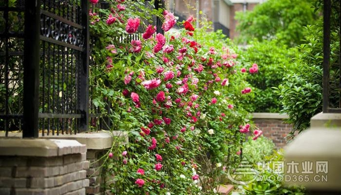 关于蔷薇的资料 蔷薇花图片大全