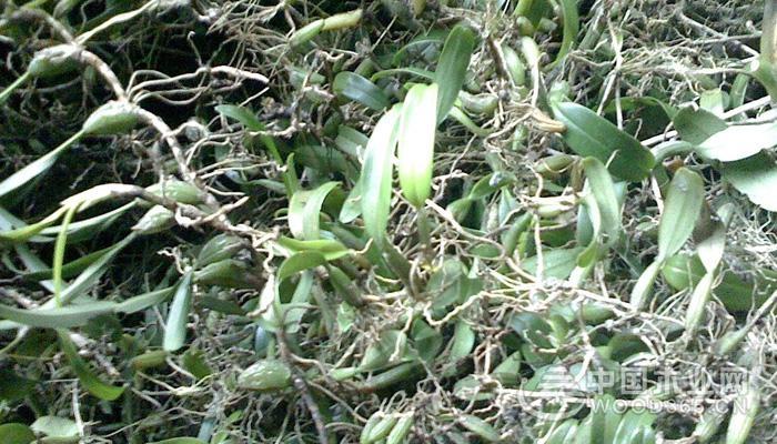 石橄榄的功效与作用及食用方法