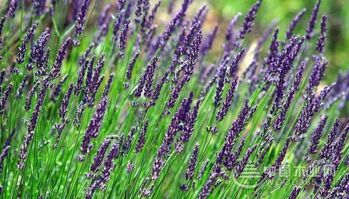 【薰衣草的形态特征】      薰衣草是一种多年生的草本植物和小矮灌木植物,它是一种蓝色的花朵形状。薰衣草是呈丛生的状态,具有多分枝,一般是直立生长的,植株的高度一般是30-90cm,一般生长在海拔比较高的山区地方,而且单株的薰衣草是能够长到一米的。薰衣草的叶子是呈互生的状态,叶子是椭圆的披尖ing装的,叶面是比较大的,叶子的边缘是反卷生长的。      薰衣草的花序是顶生的,花冠是下半部分是筒状的,而上半部分是唇形的,花朵的长度一般是1.