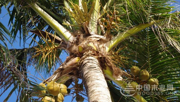 椰子树长多久才能结椰子?