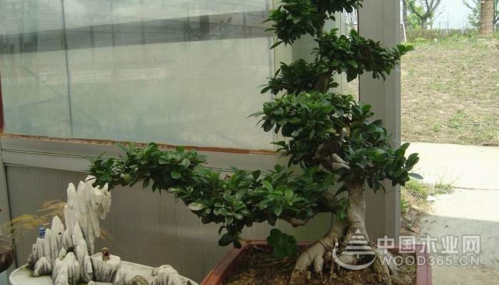 人参榕树盆景的养殖方法