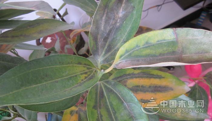 2、肥力过大      如果施肥频率过多或给的是浓肥,就会让嫩叶肥厚,很快叶子就会发黄,这时候就要给它浇灌几次清水,稀释一下土壤中的肥力。        3、从没施肥      如果嫩叶很弱,嫩茎也发黄,说明平安树缺肥,这时候可以半个月就补充一点稀薄的液肥。      每月追施一次稀薄的饼肥水或肥矾水等。入秋后可以喷两次0.